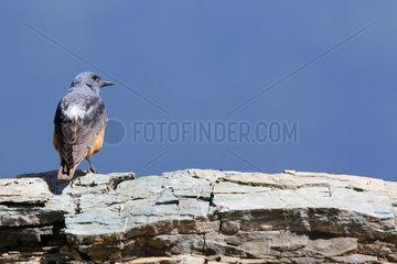 Rock Thrush ( Monticola saxatilis ) male on rock   Alps  Switzerland