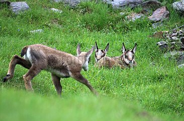 Young twins Chamois  Merlet Animal Park   Alps  France . After a week  these two young animals are already living and independent. Other young chamois born before  are curious face these newcomers within the herd. Merlet.Vallée Park Chamonix Mont Blanc.Al