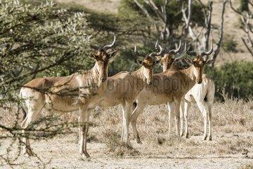 Kenya  Masai-Mara game reserve  hartebeest (Alcelaphus b. cokii)  group
