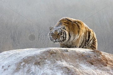 Siberian Tiger (Panthera tgris altaica) lying on mound in winter  Siberian Tiger Park  Harbin  China