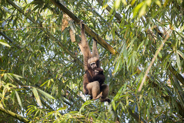 Western hoolock gibbon (Hoolock hoolock)  female with young in bamboos  Gumti wildlife sanctuary  Tripura state  India