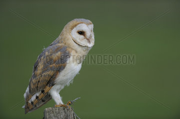 Barn Owl (Tyto alba) on a pole  Lorraine  France