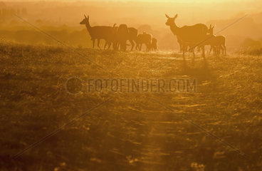 Red deer (Cervus elephus) Hind silhouette at sunset  in Autumn  England