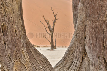Dead acacia trees in the Namib Desert  Namibia