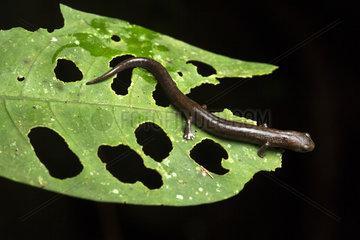Northwestern Mushroom-tongue Salamander (Bolitoglossa sima)  Chocó colombiano  Ecuador