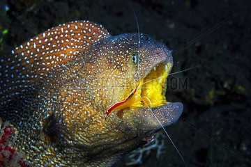 Portrait of Starry Moray (Gymnothorax nudivomer) and cleaner shrimp (Lysmata amboinensis)  Indian Ocean  Reunion