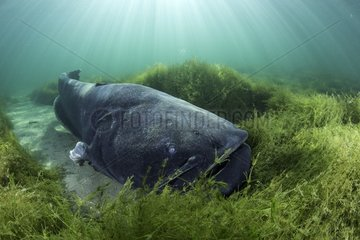 Wels catfish  Silurus glanis  also called sheatfish  is a large catfish native to wide areas of central  southern  and eastern Europe  Neuchâtel lake  Switzerland