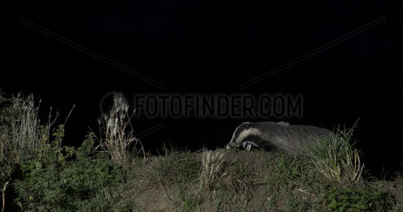 Badger (Mels meles) looking for food in the British countryside at night  England