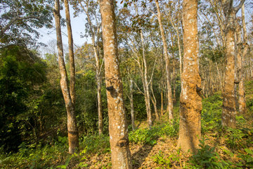 Harvesting latex from rubber trees  Tripura state  India