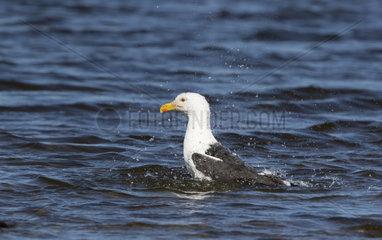 Great black-backed gull (Larus marinus) washing  Shetland
