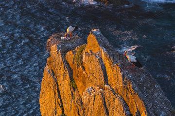 White Stork  Cabo Sardao  Natural Park of Southwest Alentejo and Costa Vicentina  Alentejo  Portugal  Europe