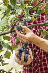 Harvest of Ente plums in a garden