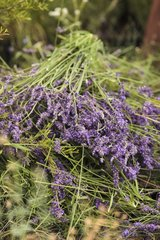 Pruning of lavender in a garden