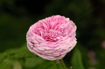 Rose 'Aimable Ami' Marguerite Garden France