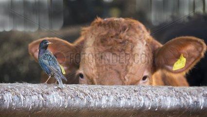 Starling (Sturnus vulgaris) Starling and cattle  England  Winter