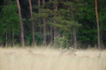 Red deers (Cervus elaphus ) male velvet   Hige Veluwe   Netherlands