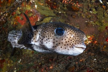 Longspined porcupinefish (Diodon holocanthus)  Reunion Island  Indian Ocean