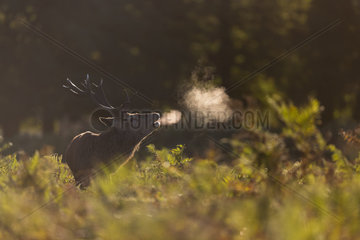 Red deer (Cervus elaphus) Stag bellowing amongst braken in Autumn  England