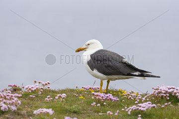 Great black-backed gull (Larus marinus) tanding amongst flowers  Shetland