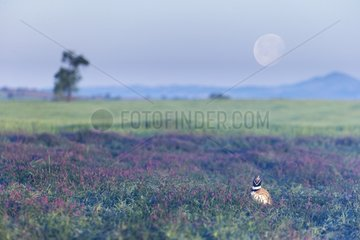Little bustard (Teyrax tetrax) Bustard in a meadow at sunrise with the moon in the backgroung  Spain  Spring