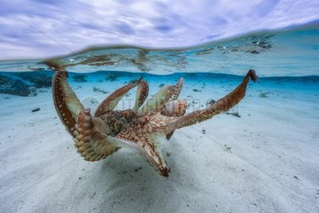 Octopus (Octopus sp) spreading its tentacles in the lagoon  Mayotte  Indian Ocean.
