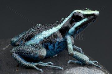 Striped giant dart frog (Amereega bassleri) on black background