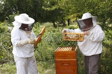 Manipulation and observation of a bee brood frame by beekeepers Heurteauville  Normandy  France