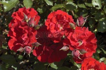 Roses 'Roter Korsar' en fleur