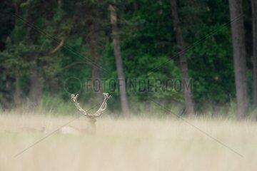 Red deer (Cervus elaphus ) male velvet   Hige Veluwe   Netherlands