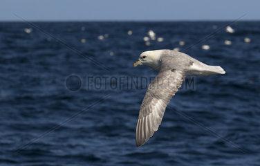 Fulmar (Fulmarus glacialis) Bird in flight above the sea  Shetland  Spring