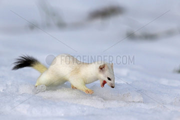 Ermine ( Mustela erminea ) in white coat of winter on snow  Prealps.