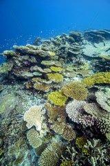 Coral reef  Maldives Indian Ocean