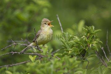 Melodious Warbler (Hippolais polyglotta) singing  Monteux  Provence  France