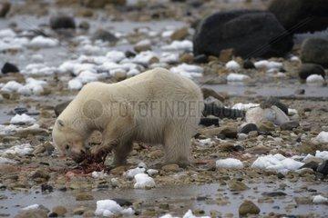Polar bear eating a prey State of Manitoba Canada