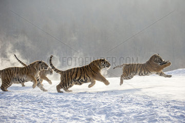 Siberian Tigers (Panthera tgris altaica) feeding on snow  Siberian Tiger Park  Harbin  China