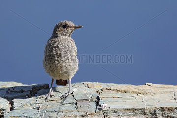 Rock Thrush ( Monticola saxatilis ) female on rock   Alps  Switzerland