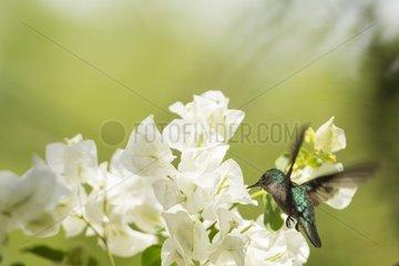 Antillean Crested Hummingbird (Orthorhyncus cristatus) feeding in flight  Montserrat Island