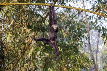 Western hoolock gibbon (Hoolock hoolock)  male in bamboos  Gumti wildlife sanctuary  Tripura state  India