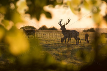 Red deer (Cervus elaphus) on the crest of a hill at sunset  in Autumn  England