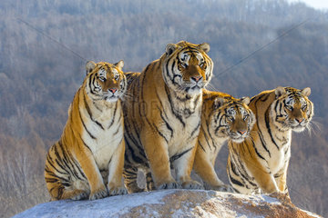 Siberian Tigers (Panthera tgris altaica) sitting on a mound in winter  Siberian Tiger Park  Harbin  China