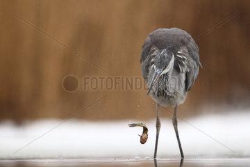 Grey Heron (Ardea cinerea) having released his fish   Hungary
