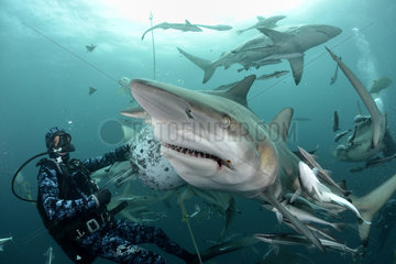 Diver and Blacktip sharks (Carcharhinus limbatus) during a session baiting with chunks of Sardines - Site of Protea Banks  off the town of Umkomaas  South Africa