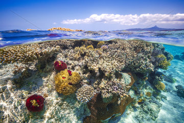 Corals on the surface of the water during the great tides in the lagoon of Mayotte  in the background : Mount Choungi  Indian Ocean