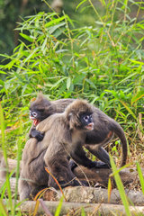 Phayre's leaf monkey or Phayre's langur (Trachypithecus phayrei) and young on ground  Trishna wildlife sanctuary  Tripura state  India