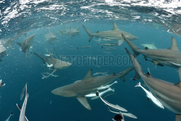 Blacktip sharks (Carcharhinus limbatus) - Site of Protea Banks  off the town of Umkomaas  South Africa