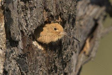 Hoopoe (Upupa epops) Bird looking outside the nest  Spain  Spring