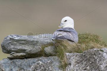 Fulmar (Fulmarus glacialis) aying on a wall  Shetland