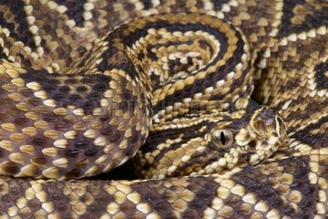 Portrait of Neotropical rattlesnake (Crotalus durissus terrificus)