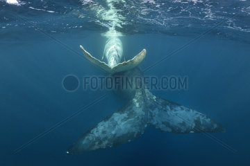 White southern right whale calf swimming with its mother  Port St-Johns  South Africa