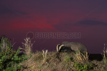 Badger (Mels meles) looking for food in the British countryside at sunset  England